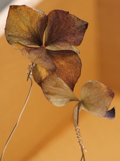 Getrocknete Hortensienblüte